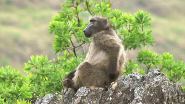 african wildlife - baboon - - baboon videos stock videos & royalty-free footage
