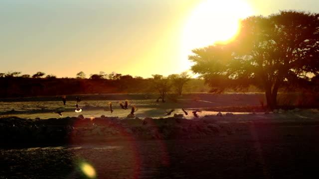 vídeos y material grabado en eventos de stock de african vida silvestre en cámara lenta - desierto del kalahari