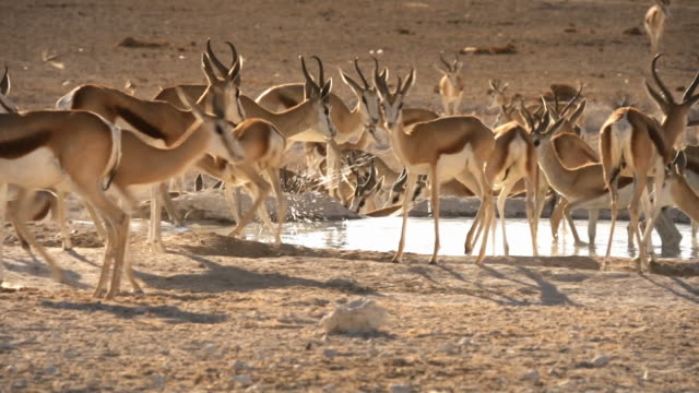 stockvideo's en b-roll-footage met african wildlife, sprinbok - gehoornd