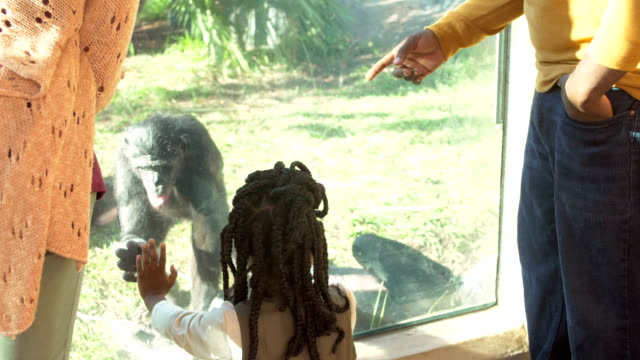 african-american family of five at the zoo, bonobos - zoo stock videos & royalty-free footage