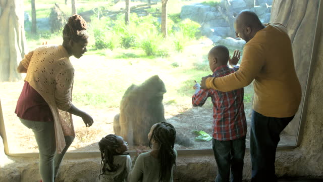 vídeos de stock, filmes e b-roll de família do african-american de cinco no jardim zoológico, gorila - jardim zoológico