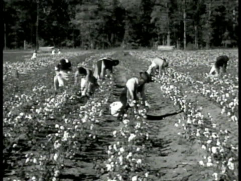 africanamerican field pickers picking in cotton field ms african american woman picking cotton ws group of black americans picking in field ohio... - picking stock videos & royalty-free footage