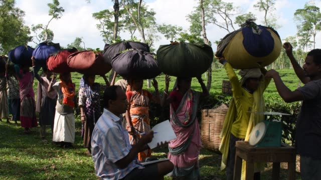 vidéos et rushes de after collecting tea leaves women workers wait in a queue to deposit their day's collection to the tea plantation manager on november 13. tea... - directrice