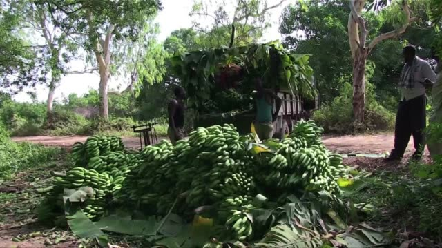 after more than two decades of conflict that decimated somalias economy the banana industry is bouncing back - corno d'africa video stock e b–roll