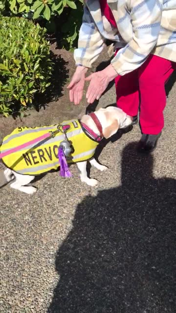 after weeks of isolation these dog owners were finally able to take poopy to see this grandmother for a socially distanced walk. - week stock videos & royalty-free footage