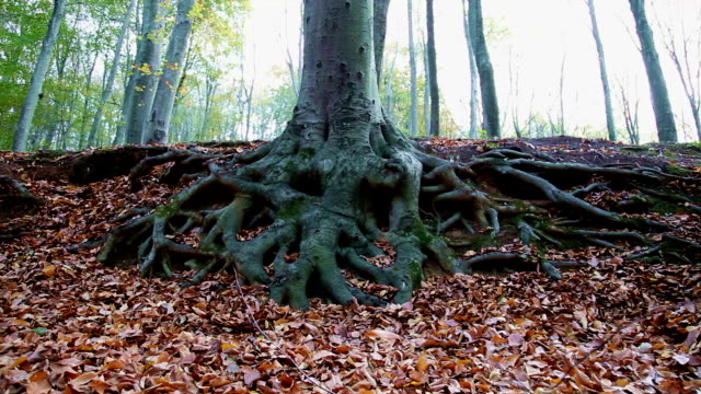 aged tree roots, autumn in the forest - root stock videos & royalty-free footage