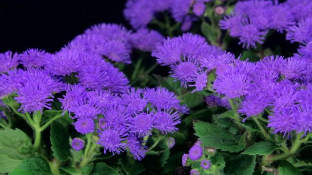 vídeos de stock e filmes b-roll de ageratum de flores a desabrochar 4 k - prunus taihaku