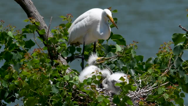 aggressive nestling great egrets being fed at the high island rookery - great egret stock videos and b-roll footage