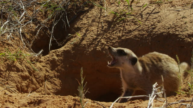 ms agitated meerkat emerges from burrow and calls - singing stock videos & royalty-free footage