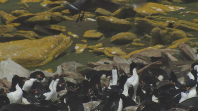 agitated rockhopper penguin and king cormorant colony as antarctic skua hovers overhead - 翼を広げる点の映像素材/bロール