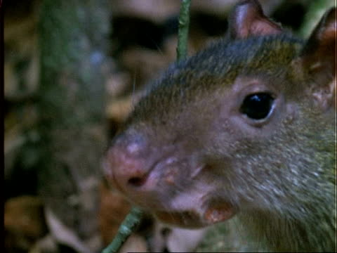 agouti, cu agouti head portrait, nose twitches, panama - squiggle stock videos & royalty-free footage
