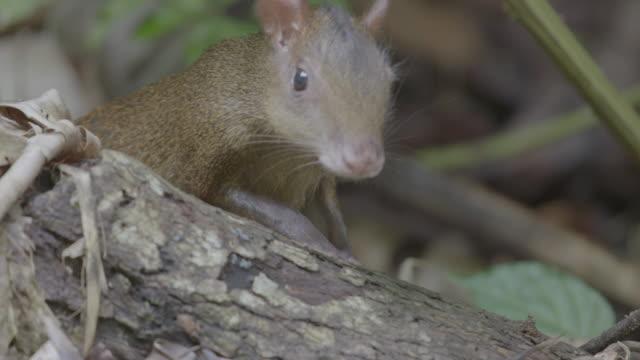 MS PAN Agouti foraging in undergrowth / Panamá Province, Panama