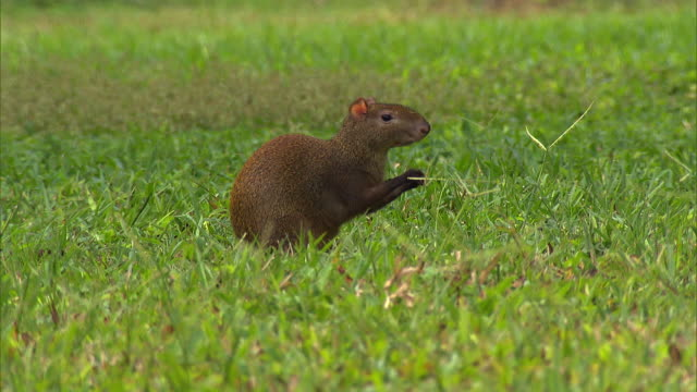 agouti - rodent stock videos & royalty-free footage