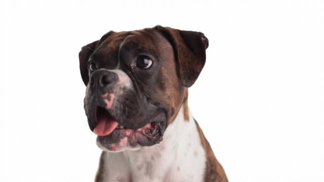 agreeable boxer dog - boxer dog stock videos and b-roll footage