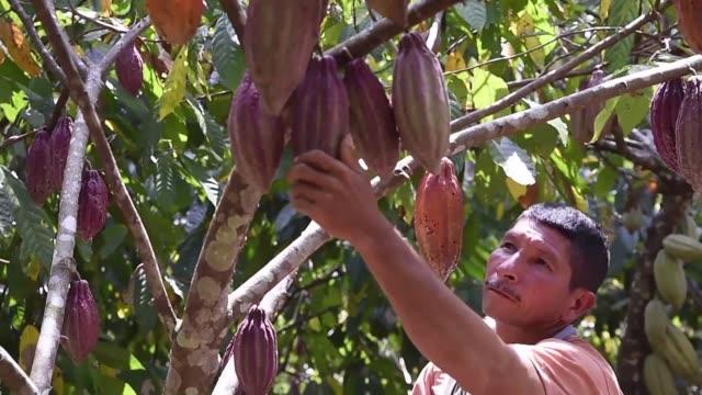 agricultores que por anos sembraron coca esperan que los cultivos de cacao traigan prosperidad al triangulo del mal un antiguo feudo del cartel de... - prosperity stock videos & royalty-free footage