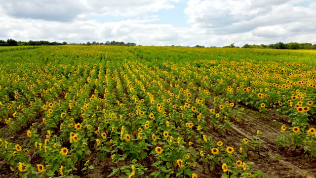 agricultural field with bright yellow sunflowers summer - flower head stock videos & royalty-free footage