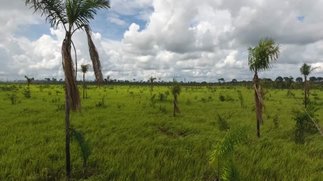 agricultural land with grassy soil, some dead trees and palm trees growing in pando, bolivia - cattle stock videos & royalty-free footage