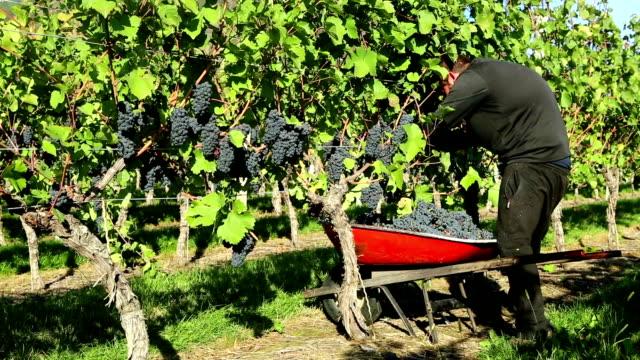 Agricultural Occupation Grape Harvesting