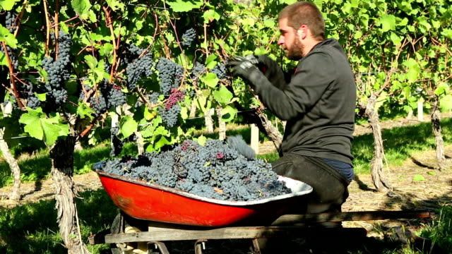 agricultural occupation grape harvesting - agricultural occupation stock videos & royalty-free footage