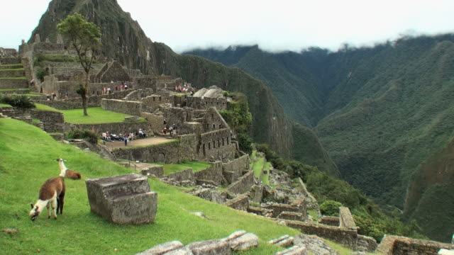 ws agricultural sector of town with llama in foreground / machu picchu, peru - machu picchu stock videos & royalty-free footage