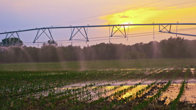 Agricultural sprinklers watering a field at sunset