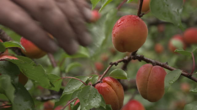 "agricultural worker harvests apricots in orchard, uk - ""bbc natural history"" video stock e b–roll"