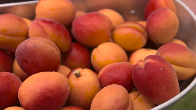 agricultural worker harvests apricots in orchard, uk - apricot stock videos & royalty-free footage