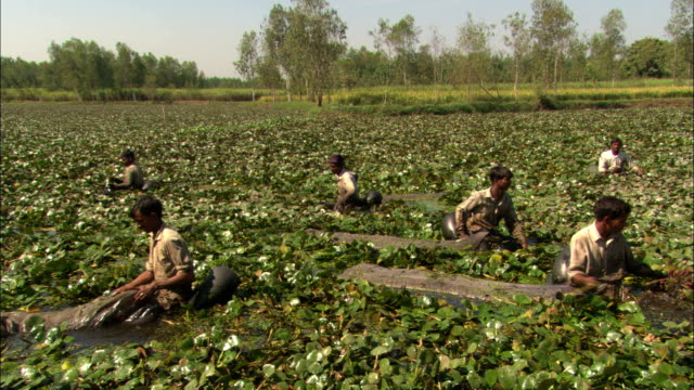 Agricultural workers stand in water as they harvest a crop.