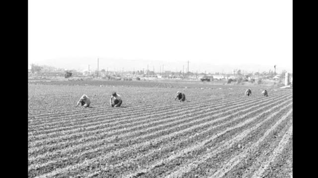 vídeos de stock, filmes e b-roll de agricultural workers tending planting in large field agricultural workers tending large field on january 01 1948 in california - migrant worker