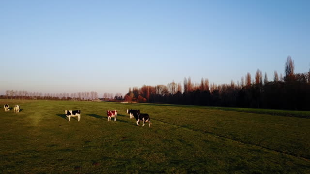 Agriculture, cattle breeding on Dutch farms - Netherlands rural scene