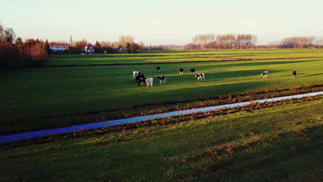 agriculture, cattle breeding on dutch farms - netherlands rural scene - pasture stock videos & royalty-free footage