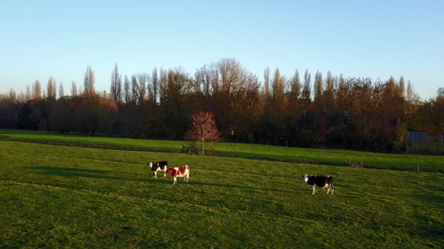 vídeos de stock e filmes b-roll de agriculture, cattle breeding on dutch farms - netherlands rural scene - gado holstein friesian