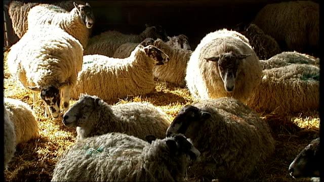 german livestock virus affects farm animals in britain england hertfordshire thrift farm int wide shot pregnant sheep in barn close shots pregnant... - mutterschaf stock-videos und b-roll-filmmaterial