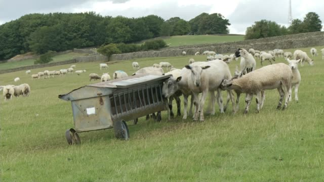 farms faced with supply shortages amid heatwave england teesdale ext sheep in field cow eating grass - teesdale stock videos & royalty-free footage