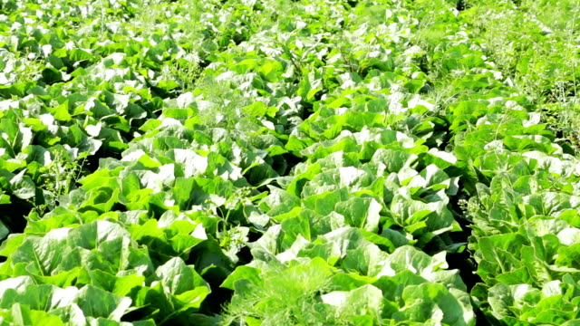 agriculture field lettuce - butter lettuce stock videos & royalty-free footage