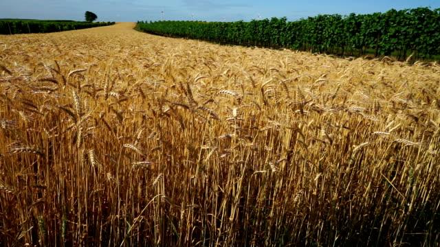landwirtschaft-feld mit getreide - cereal plant stock-videos und b-roll-filmmaterial