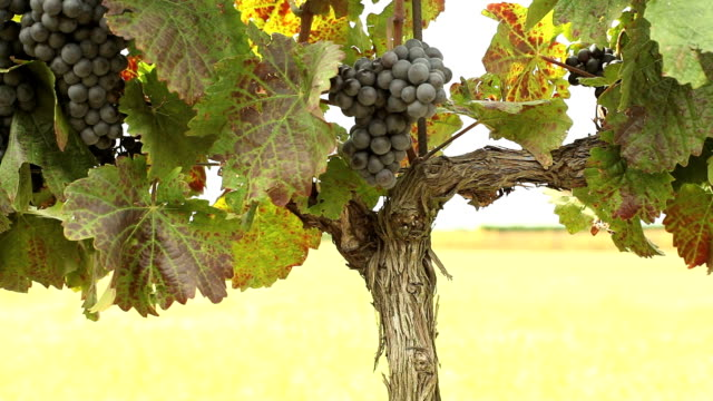 agriculture grapes - grape leaf stock videos and b-roll footage
