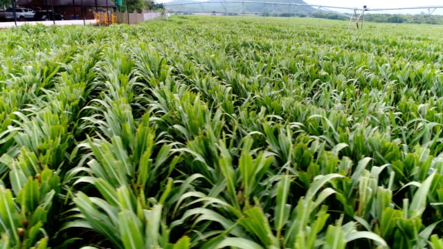 agriculture in south africa - durban stock videos & royalty-free footage