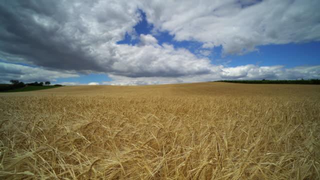 landwirtschaft-landschaft mit getreide - cereal plant stock-videos und b-roll-filmmaterial