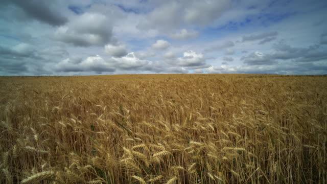 Landwirtschaft-Landschaft mit Weizenfeld
