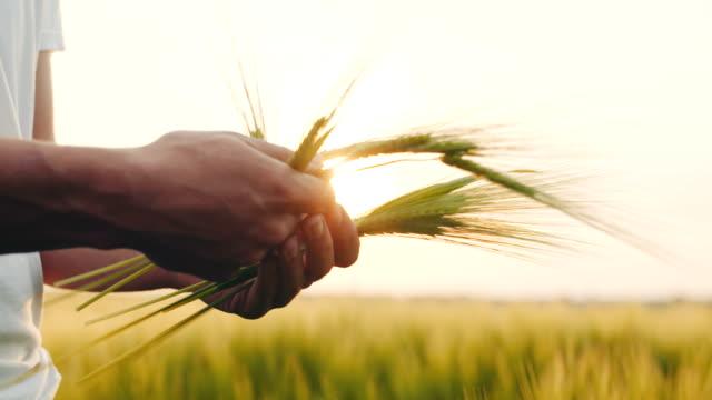 農業 - 小麦を触れる男の手。