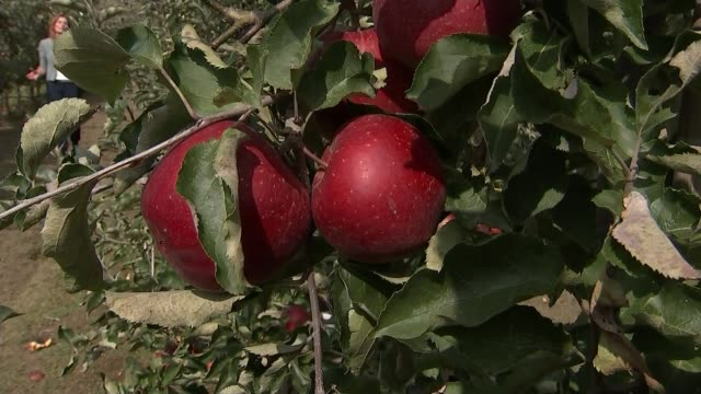 operation yellowhammer britain's 'no deal' brexit plan uk kent eu migrant workers picking fruit on fruit farm minette batters and tim chambers... - batter food stock videos & royalty-free footage