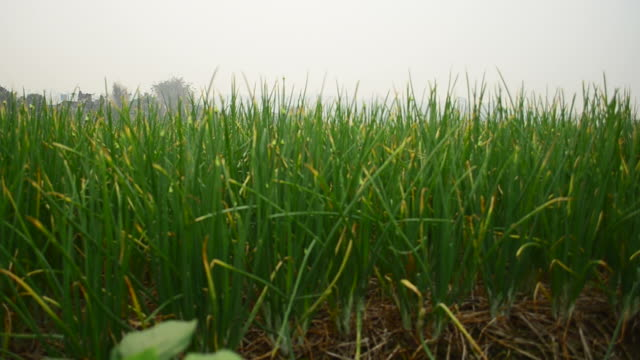 agriculture organic green onion field - scallion stock videos & royalty-free footage