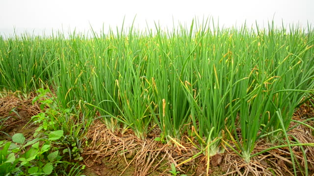 agriculture organic green onion field - onion stock videos & royalty-free footage
