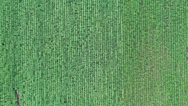 agriculture planting sugarcane plantation in southeast asian - molasses stock videos and b-roll footage