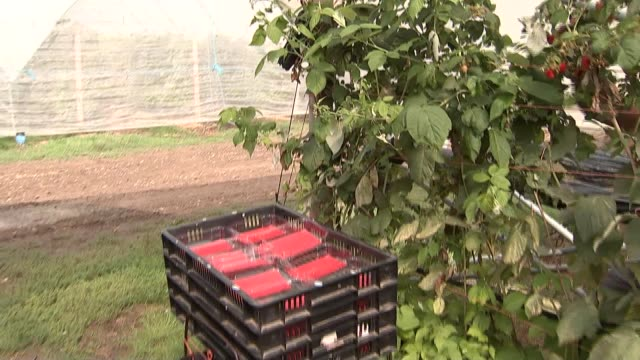seasonal workers picking fruit england kent ext berry pickers along carrying buckets and metal frames / worker placing empty punnets into crates /... - carton stock videos & royalty-free footage