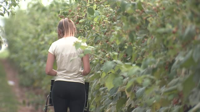 seasonal workers picking fruit england kent ext various of seasonal workers picking fruit on farm / punnets of raspberries / workers picking berries - carton stock videos & royalty-free footage