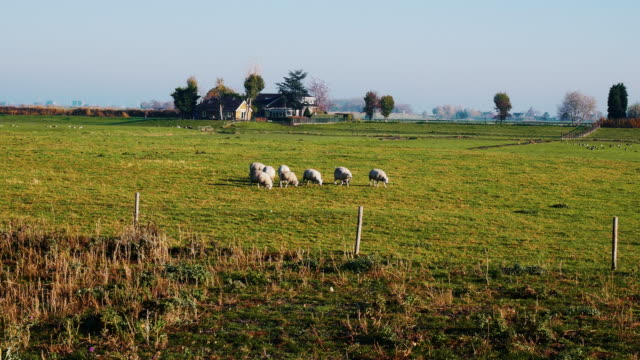 agriculture, sheep breeding on dutch farms - netherlands rural scene - sheep stock videos & royalty-free footage