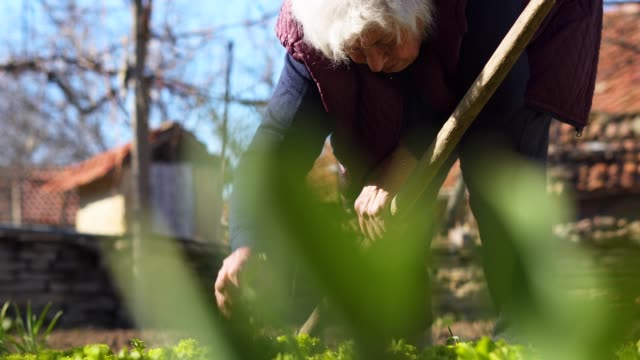 Agriculture, Springtime, Active Seniors, Close-Up of Hands Plowing and Cleaning the Salads, Agricultural Field, Cultivated, Working the Land, Gardening