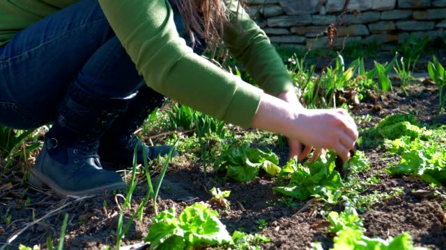 Agriculture, Springtime, Extreme Close-Up of Young Adult's Hands Plowing and Cleaning the Salads in the Garden, Agricultural Field, Cultivated, Working the Land, Gardening